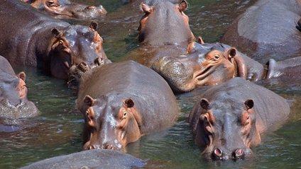 У ПАР бегемоти сміливо прогулялися повз крокодилів: відео - фото 1