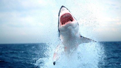 Букмекери почали приймати ставки на міграцію білих акул - фото 1