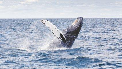 Дорослого кита зняли на відео - фото 1