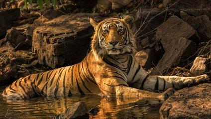Дослідження пояснило, чому люди охоче допомагають тиграм - фото 1