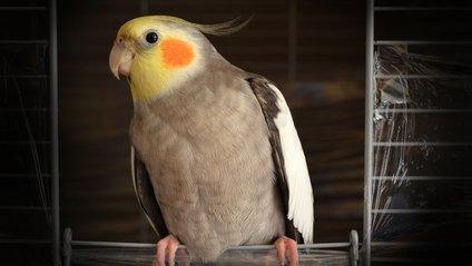 Цей папуга здатен відтворити будь-який звук - фото 1