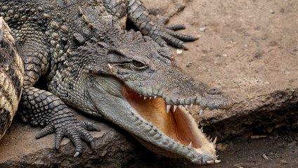 Крокодил - фото 1