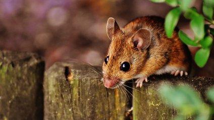 Мишу довелося лікувати від наркозалежності - фото 1
