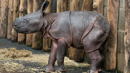 Рідкісний індійський носоріг - фото 1