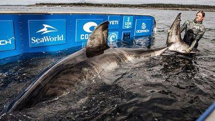 Учені упіймали білу акулу вражаючих розмірів: відео - фото 1