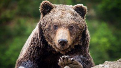 На Алясці вибрали найтовстішого ведмедя - фото 1