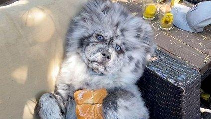 Незвичайний пес породи чау-чау став зіркою в Instagram: фото - фото 1