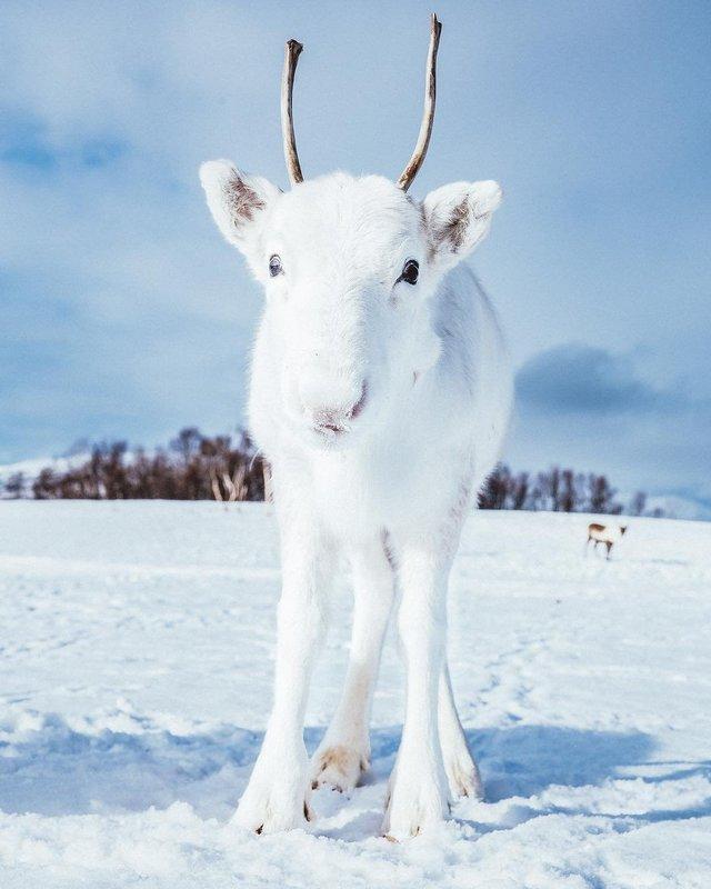 Мандрівник показав унікальне біле оленя: фотофакт - фото 293396