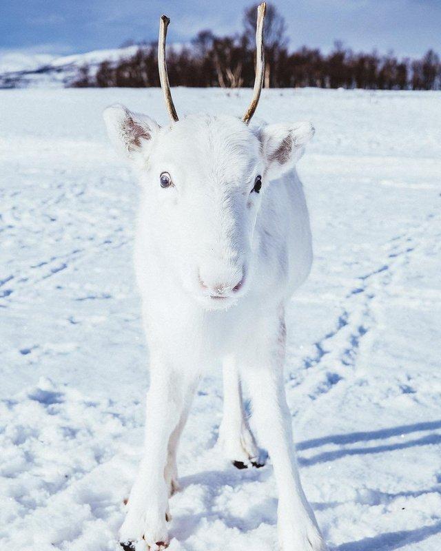 Мандрівник показав унікальне біле оленя: фотофакт - фото 293397