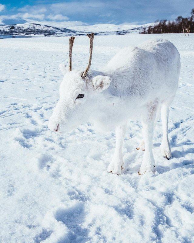 Мандрівник показав унікальне біле оленя: фотофакт - фото 293398