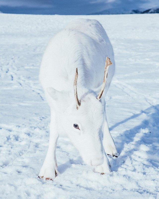 Мандрівник показав унікальне біле оленя: фотофакт - фото 293399