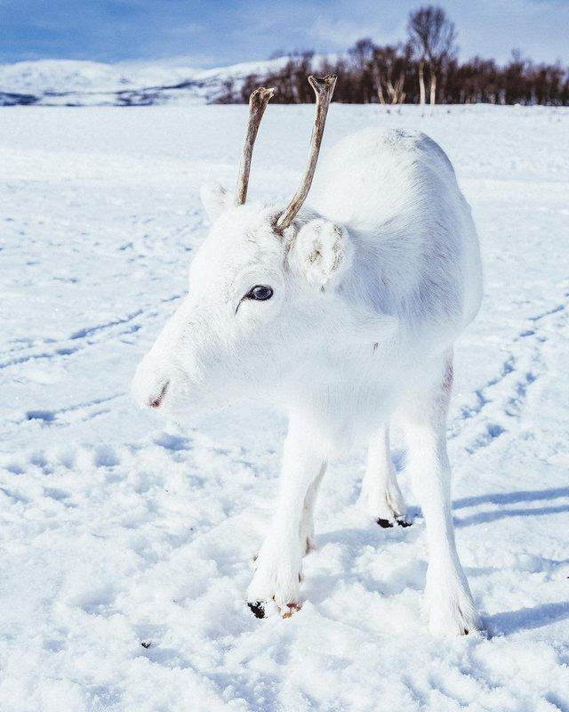 Мандрівник показав унікальне біле оленя: фотофакт - фото 293400