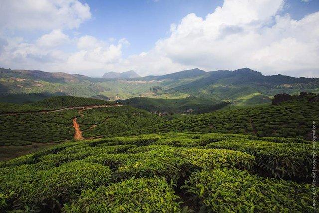 Фотограф показав, як вирощують чай в Індії - фото 294808