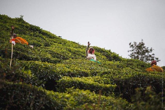 Фотограф показав, як вирощують чай в Індії - фото 294809