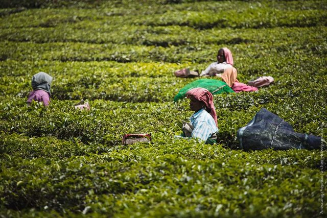 Фотограф показав, як вирощують чай в Індії - фото 294810