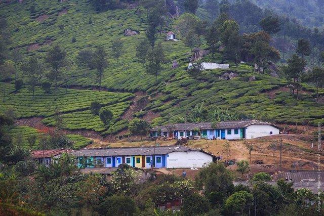 Фотограф показав, як вирощують чай в Індії - фото 294812