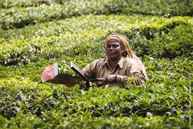 Фотограф показав, як вирощують чай в Індії - фото 294813