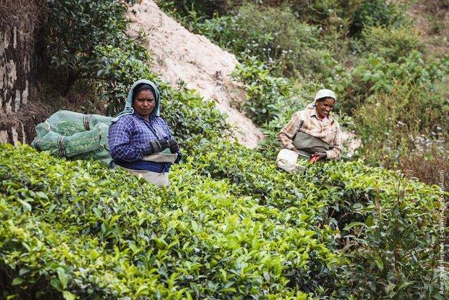 Фотограф показав, як вирощують чай в Індії - фото 294814