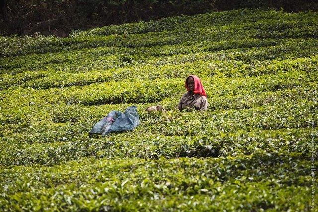 Фотограф показав, як вирощують чай в Індії - фото 294815
