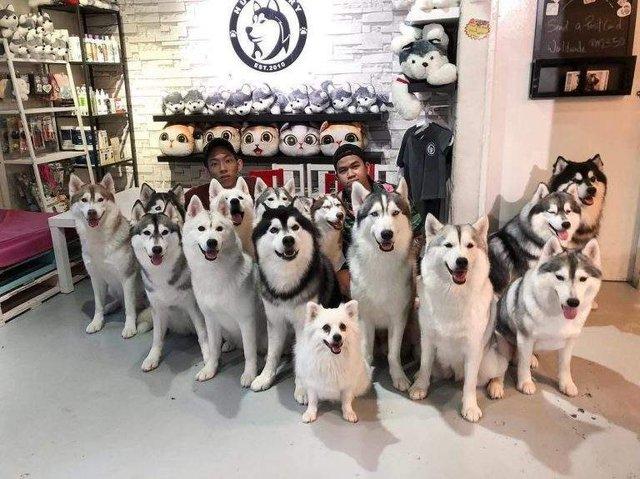 У Малайзії відкрили кафе для любителів хаскі - фото 295127