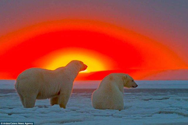 Фотографу дивом вдалося зняти білих ведмедів на тлі заходу сонця - фото 298412