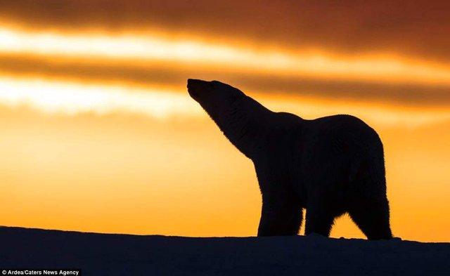 Фотографу дивом вдалося зняти білих ведмедів на тлі заходу сонця - фото 298413