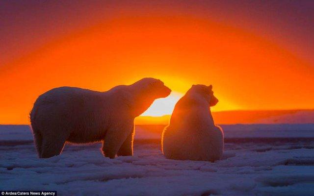 Фотографу дивом вдалося зняти білих ведмедів на тлі заходу сонця - фото 298414