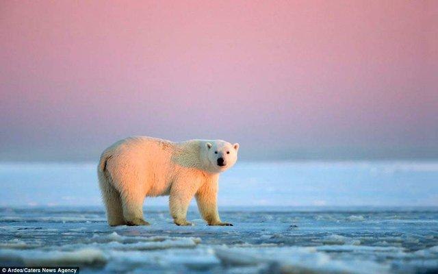 Фотографу дивом вдалося зняти білих ведмедів на тлі заходу сонця - фото 298415