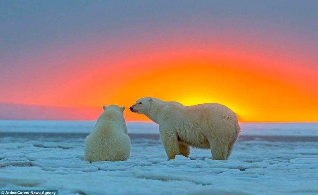 Фотографу дивом вдалося зняти білих ведмедів на тлі заходу сонця - фото 298416