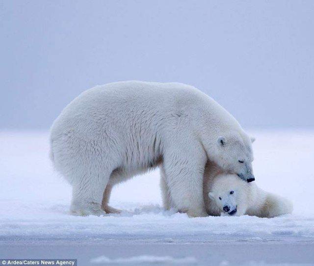 Фотографу дивом вдалося зняти білих ведмедів на тлі заходу сонця - фото 298417
