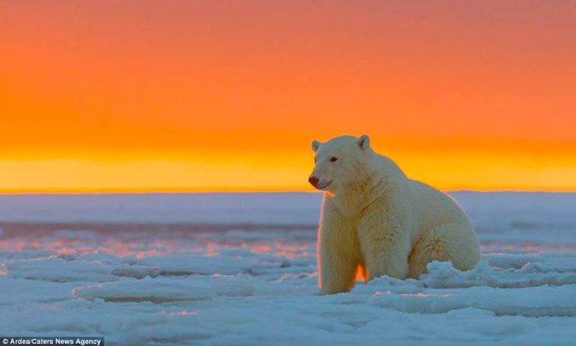 Фотографу дивом вдалося зняти білих ведмедів на тлі заходу сонця - фото 298418