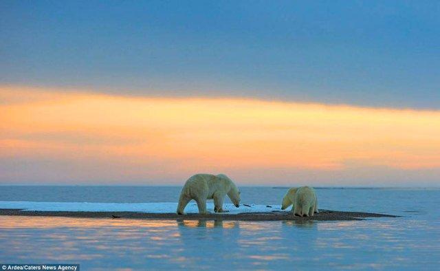 Фотографу дивом вдалося зняти білих ведмедів на тлі заходу сонця - фото 298419