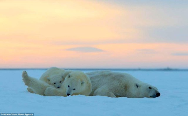Фотографу дивом вдалося зняти білих ведмедів на тлі заходу сонця - фото 298420