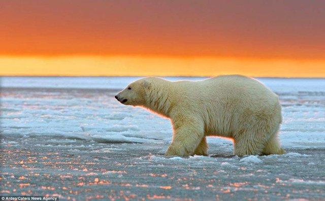 Фотографу дивом вдалося зняти білих ведмедів на тлі заходу сонця - фото 298421