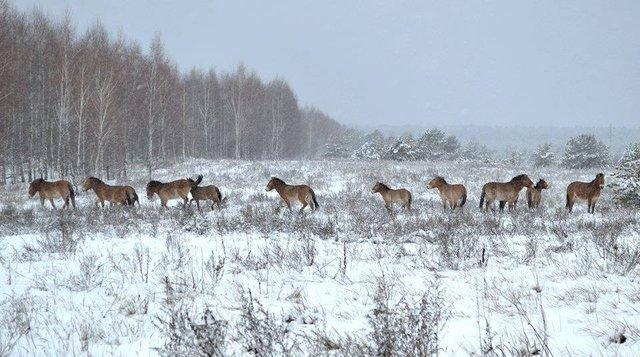 У мережі показали, як дикі тварини зимують у Чорнобилі - фото 300154
