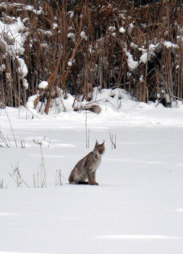 У мережі показали, як дикі тварини зимують у Чорнобилі - фото 300156