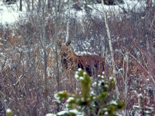 У мережі показали, як дикі тварини зимують у Чорнобилі - фото 300158