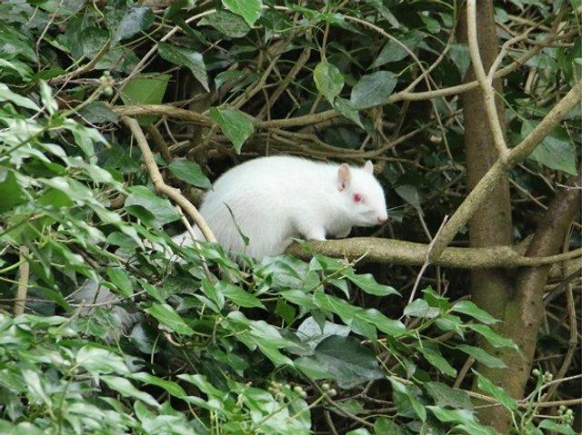 У Великобританії зняли рідкісну білку-альбіноса - фото 307854