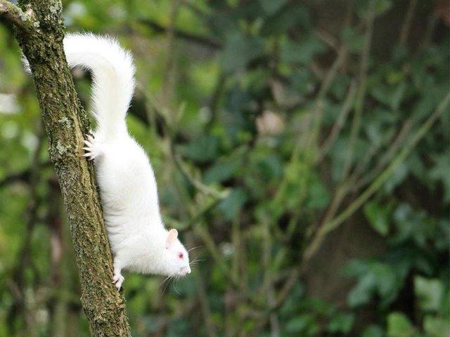 У Великобританії зняли рідкісну білку-альбіноса - фото 307855