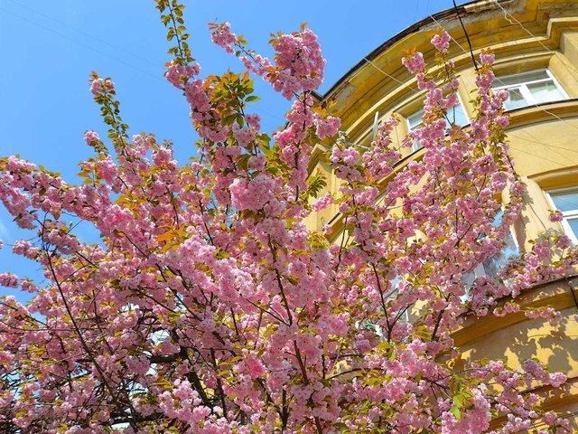 Цвітіння сакури в Ужгороді - фото 312087