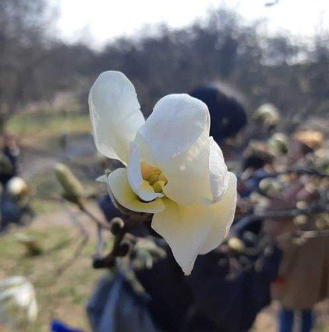 Цвітіння магнолій у Києві в яскравих знімках - фото 319469