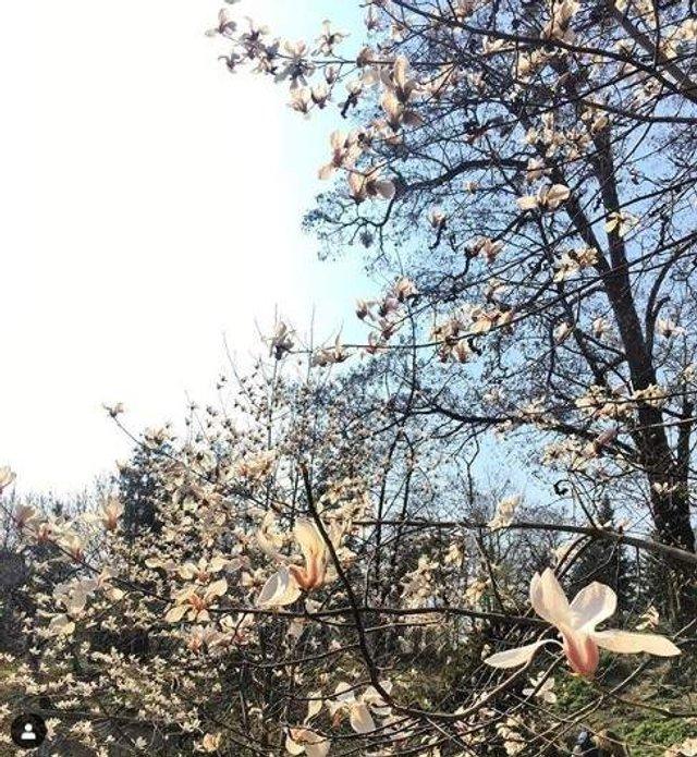 Цвітіння магнолій у Києві в яскравих знімках - фото 319471