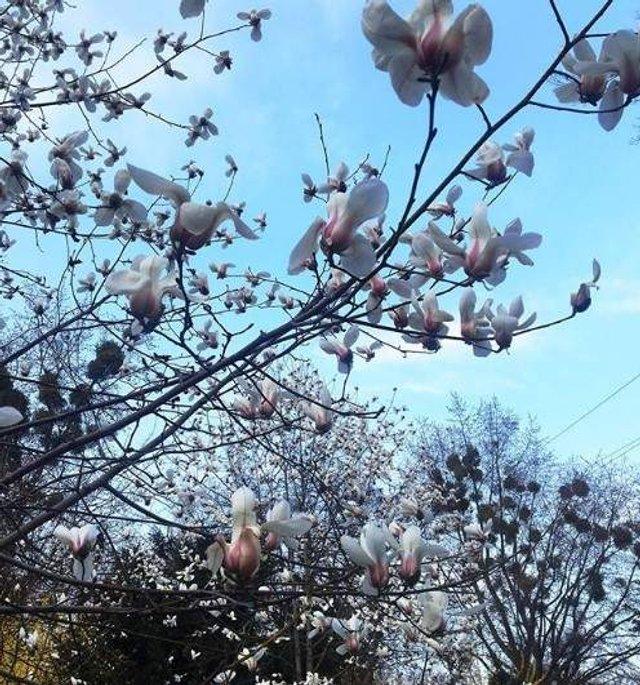 Цвітіння магнолій у Києві в яскравих знімках - фото 319473