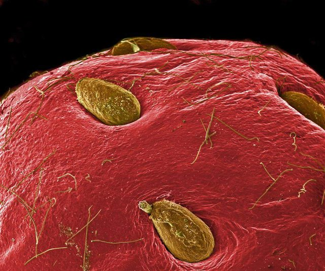 Як виглядає їжа під мікроскопом: вражаючі кадри - фото 320057