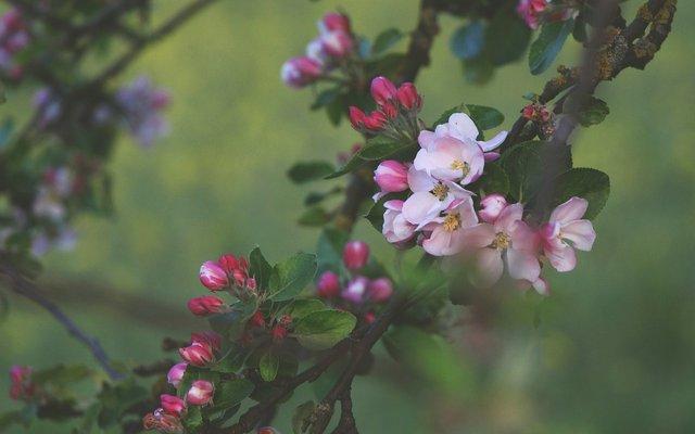 Сакури в України: коли і куди поїхати, щоб помилуватися цвітінням - фото 322220