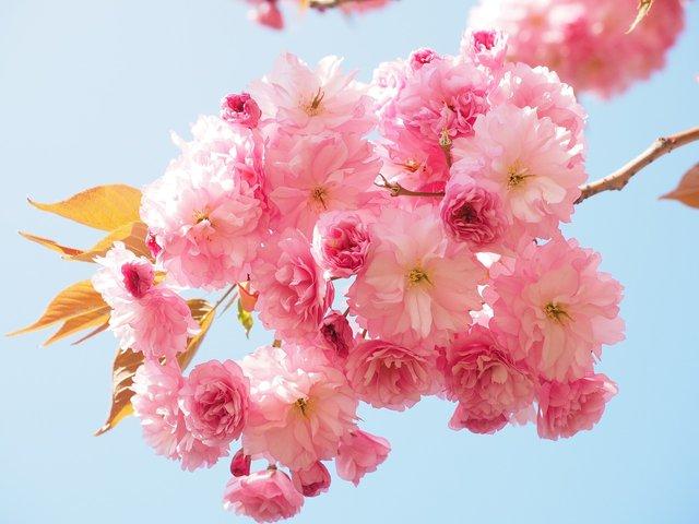 Сакури в України: коли і куди поїхати, щоб помилуватися цвітінням - фото 322222
