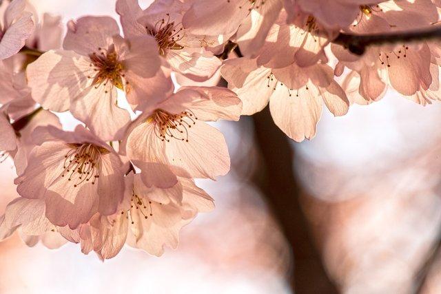 Сакури в України: коли і куди поїхати, щоб помилуватися цвітінням - фото 322223