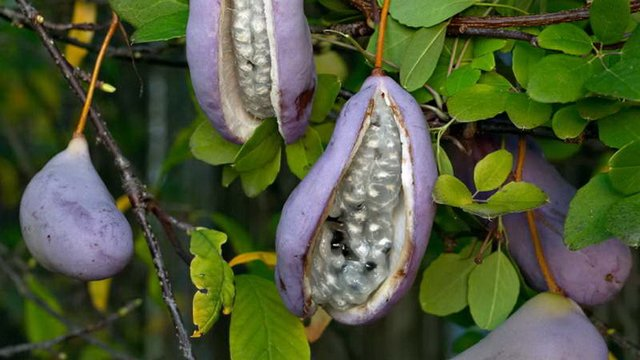 5 екзотичних фруктів, про які ви не чули - фото 322512