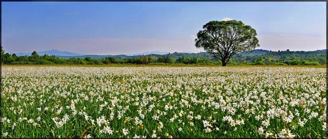 У Карпатах розквітає Долина нарцисів: чарівні фото - фото 323399