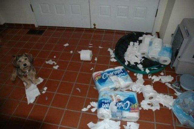 Що роблять собаки, коли нікого нема вдома: епічні фото - фото 323546